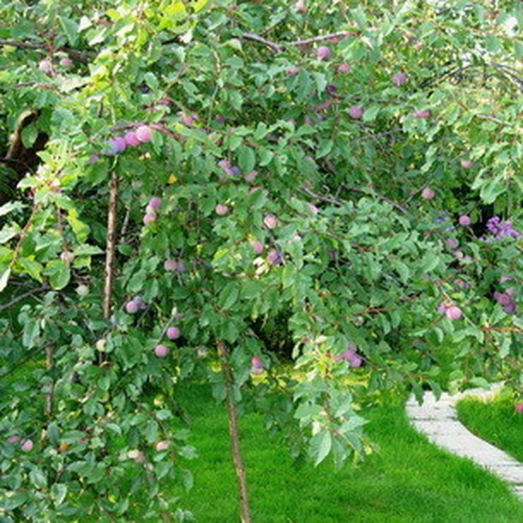 Bild 5: Apfel Aprikose Pfirsich Zwetschge Birne Kirsche