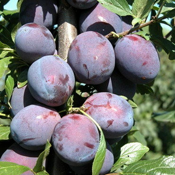 Bild 6: Apfel Aprikose Pfirsich Zwetschge Birne Kirsche