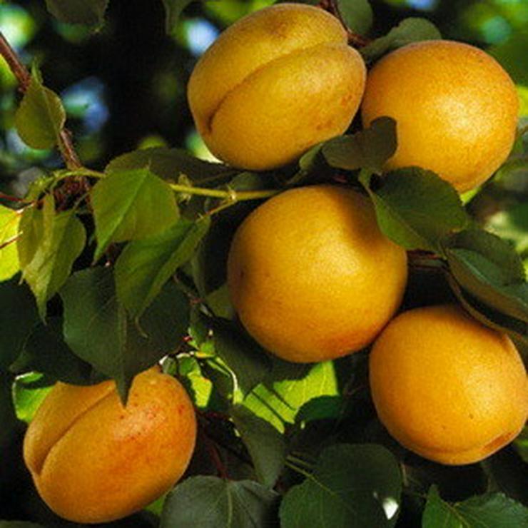 Bild 8: Apfel Aprikose Pfirsich Zwetschge Birne Kirsche