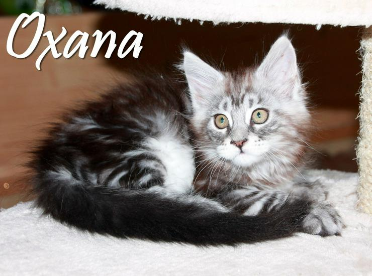 Maine Coon Kitten - Mädchen Black silver tabby