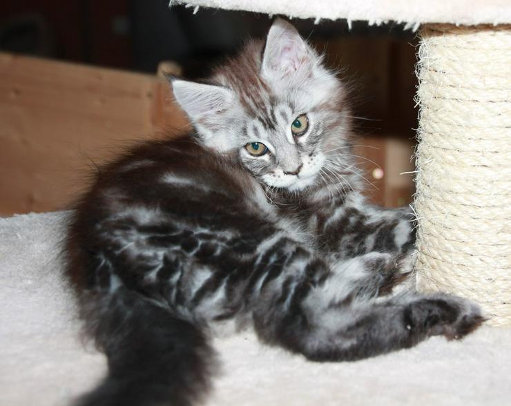 Bild 2: Maine Coon Kitten - Mädchen Black silver tabby