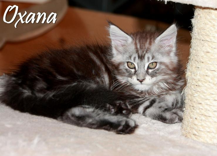 Bild 3: Maine Coon Kitten - Mädchen Black silver tabby