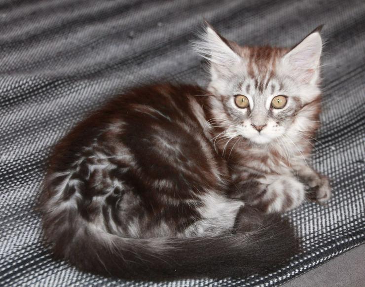 Bild 4: Maine Coon Kitten - Mädchen Black silver tabby