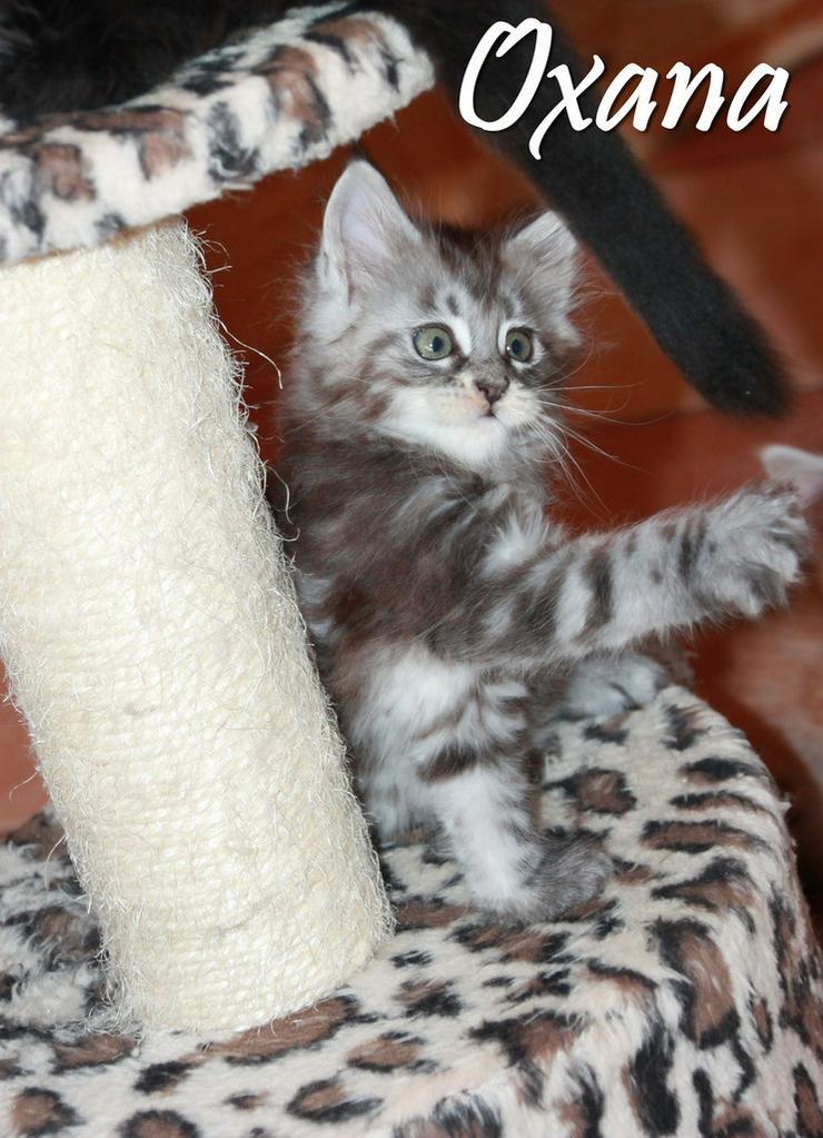 Bild 5: Maine Coon Kitten - Mädchen Black silver tabby