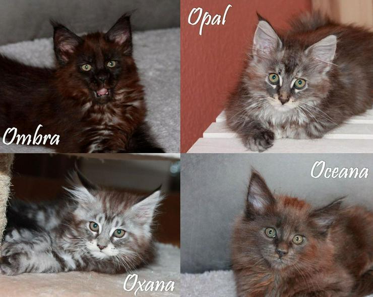 Bild 6: Maine Coon Kitten - Mädchen Black silver tabby