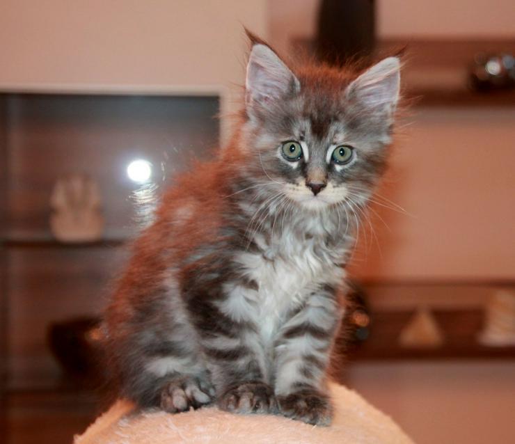 Bild 2: Maine Coon Kitten - Mädchen Blue silver torbie