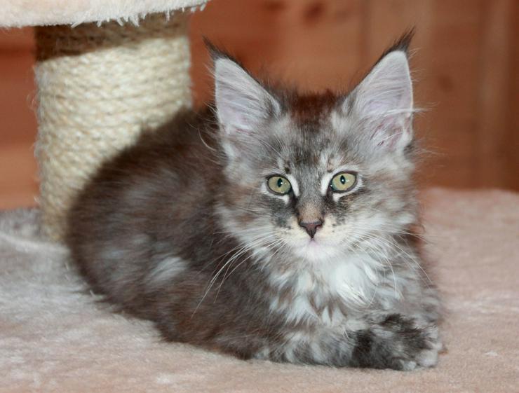 Bild 3: Maine Coon Kitten - Mädchen Blue silver torbie
