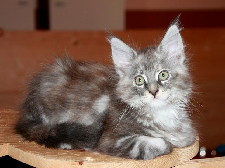 Bild 4: Maine Coon Kitten - Mädchen Blue silver torbie
