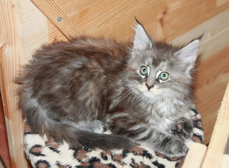 Bild 5: Maine Coon Kitten - Mädchen Blue silver torbie