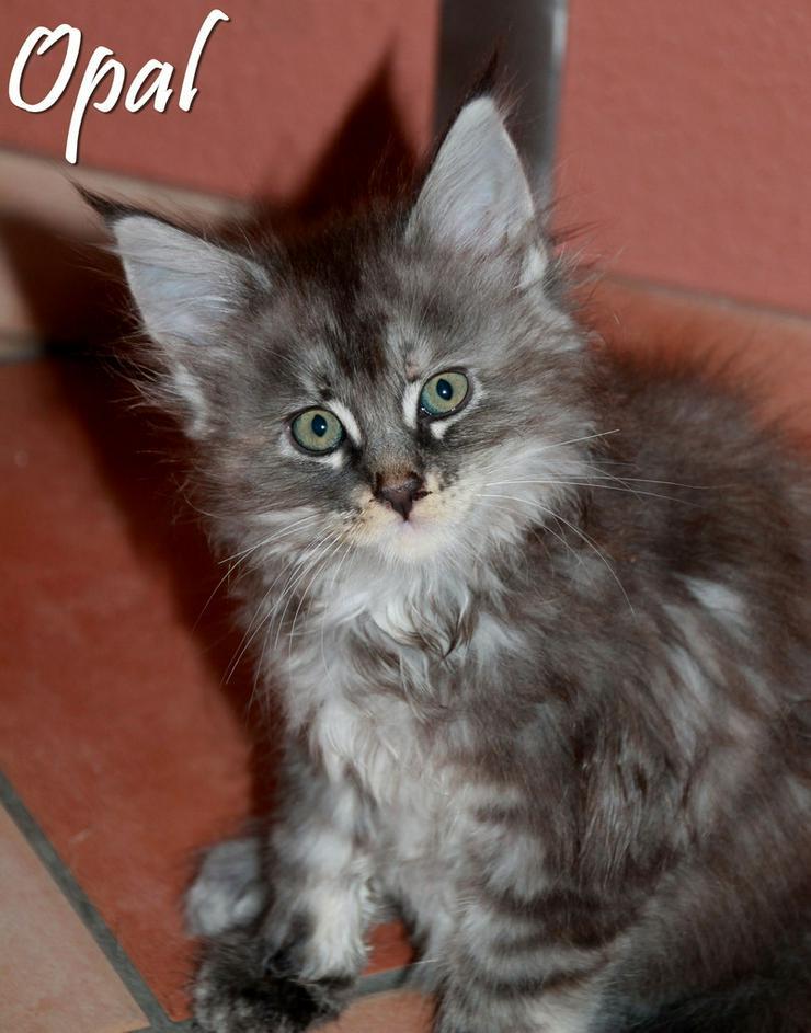 Bild 6: Maine Coon Kitten - Mädchen Blue silver torbie