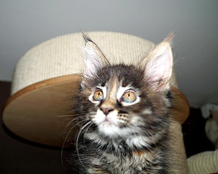 Tolle Maine Coon Kitten