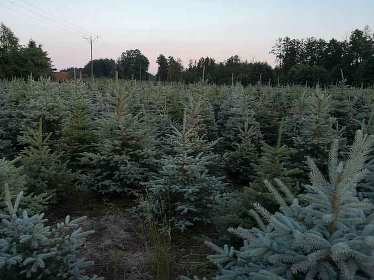 picea pungens Weihnachtsbaum Großhandel