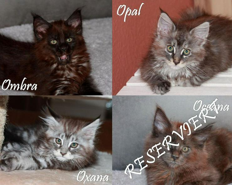 Maine Coon Kitten - Mädchen in Kürze zur Abgabe - Rassekatzen - Bild 1