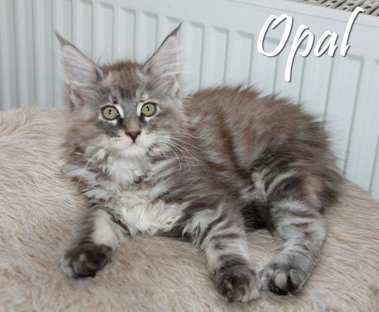 Bild 4: Maine Coon Kitten - Mädchen in Kürze zur Abgabe