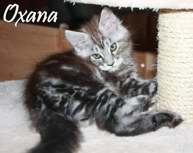 Bild 5: Maine Coon Kitten - Mädchen in Kürze zur Abgabe