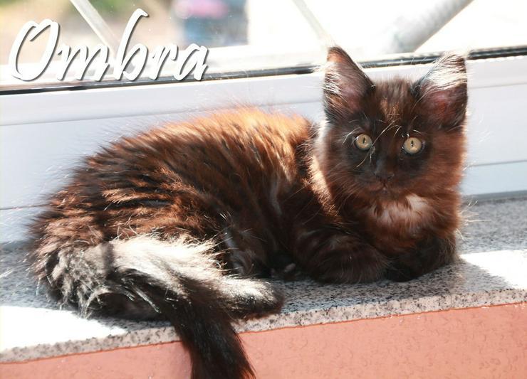 Bild 6: Maine Coon Kitten - Mädchen in Kürze zur Abgabe