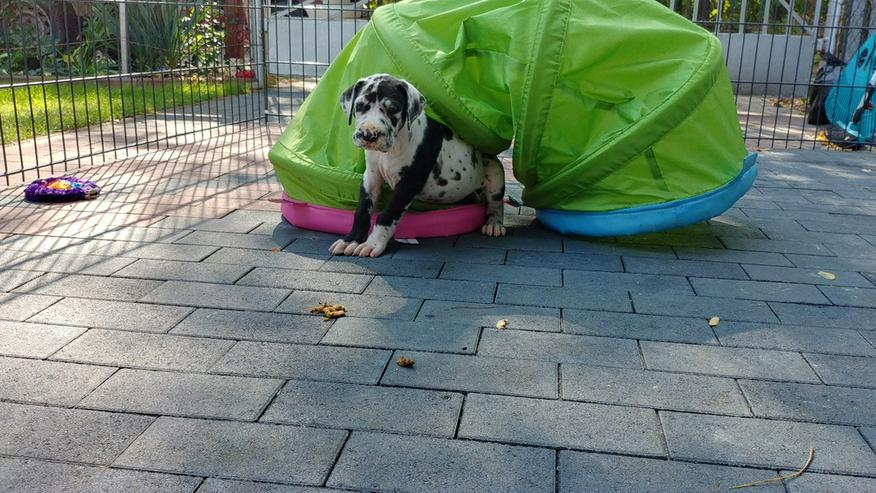 Bild 3: Deutsche Doggen Welpen
