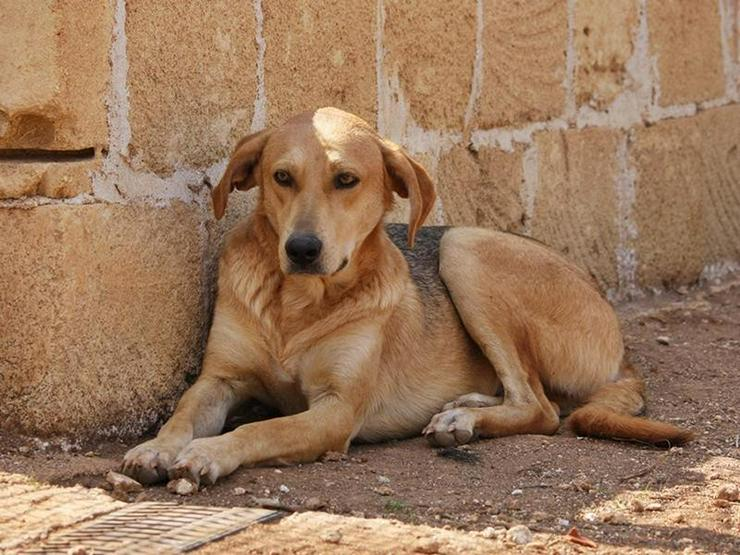 AYASKA- der Riese - Mischlingshunde - Bild 1