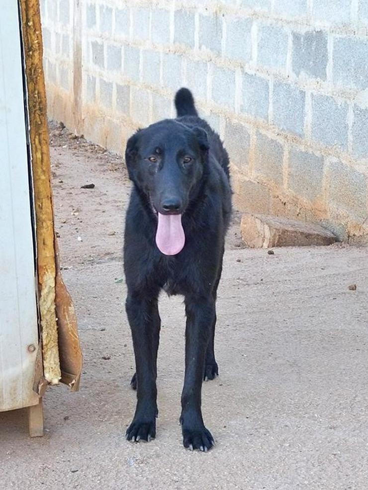 PAUL- die schwarze Schönheit - Mischlingshunde - Bild 1