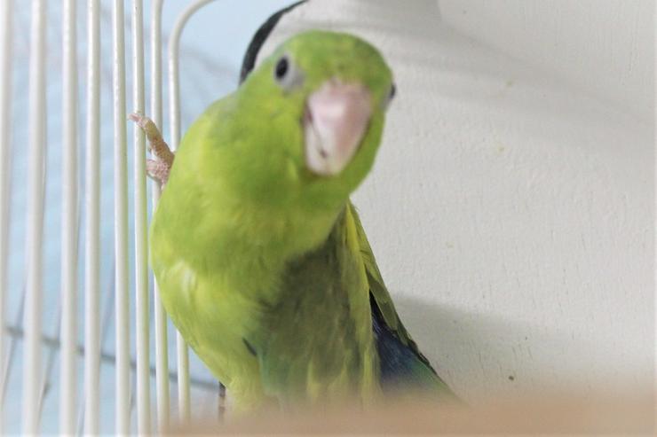 Verkaufe 1 Blaunackensperlingspapageienhenne - Papageien - Bild 1