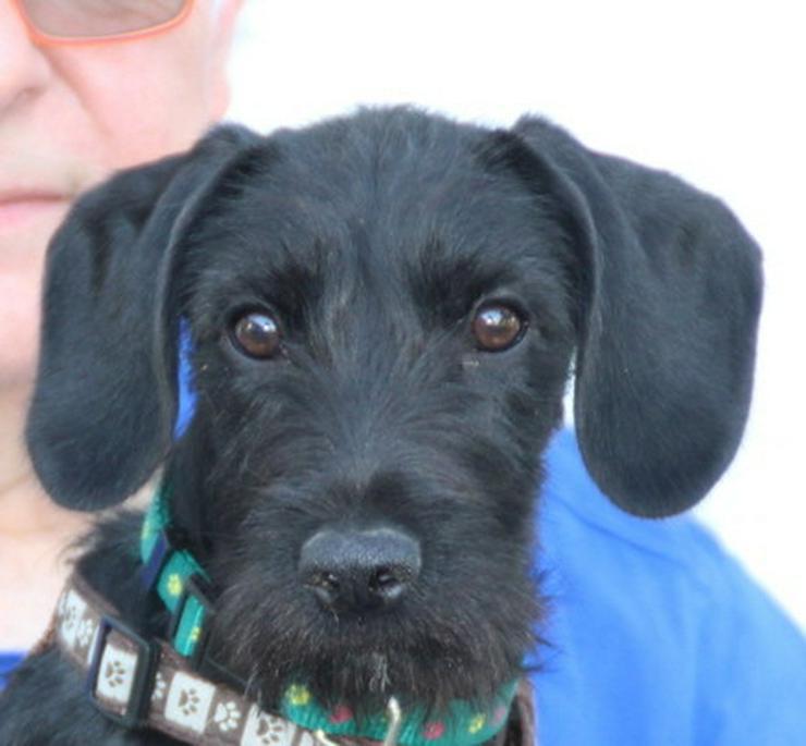 Clark, ein hübsches Schnauzermixwelpchen - Mischlingshunde - Bild 1