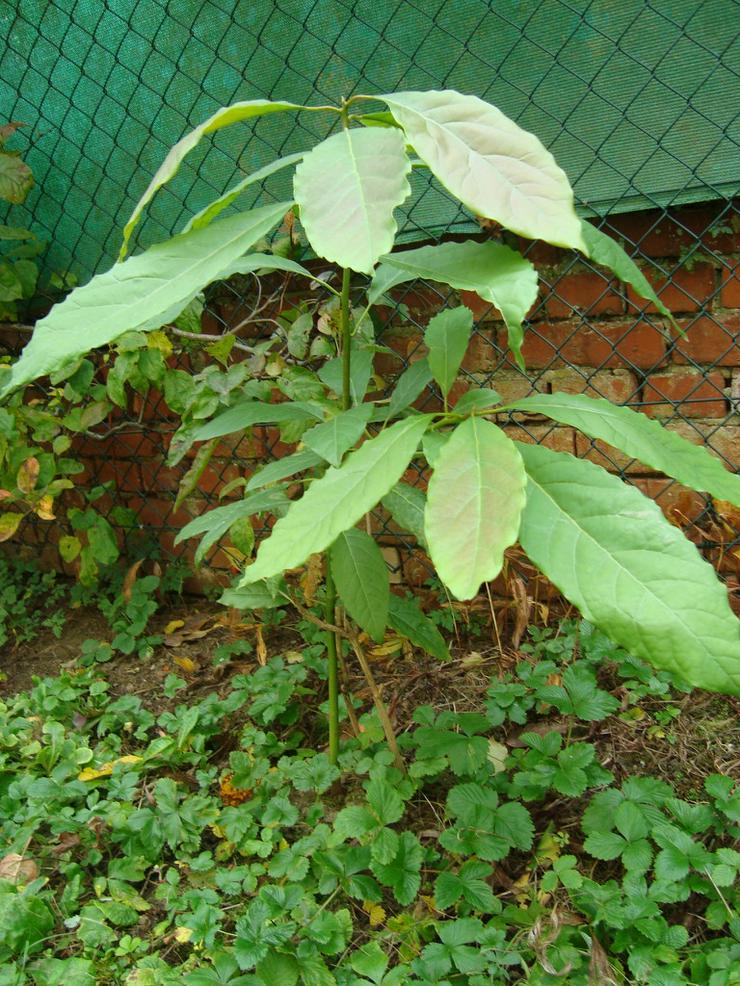 Avocado-Baeumchen