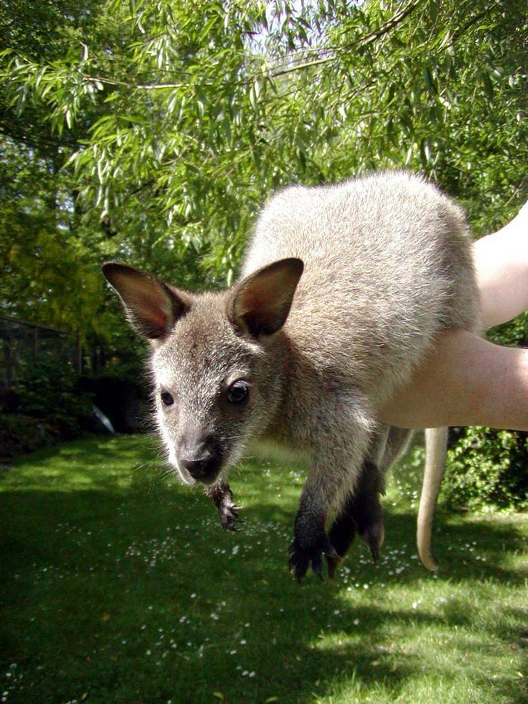 Bild 4: Känguru Bennett Wallaby, weiblich