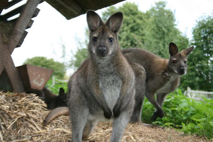 Bild 3: Känguru Bennett Wallaby, weiblich