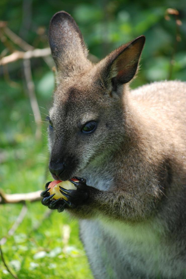 Känguru Bennett Wallaby, weiblich