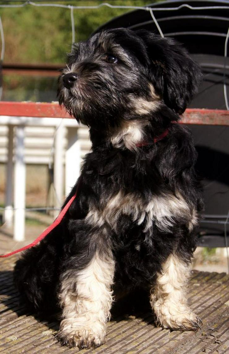 Tibet Terrier Hundin Aus Vdh Zucht Abzugeben In Lippstadt Bad Waldliesborn Auf Kleinanzeigen De