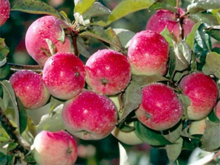 Obstbäume Apfel, Birne, Zwetschge, Pflaume, Aprikose,Kirsche