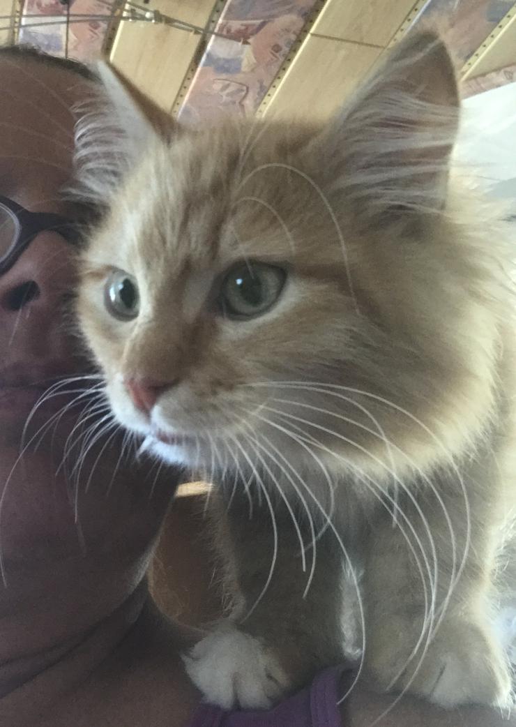 Sinirische Kitten und Neva Kitten - Rassekatzen - Bild 1