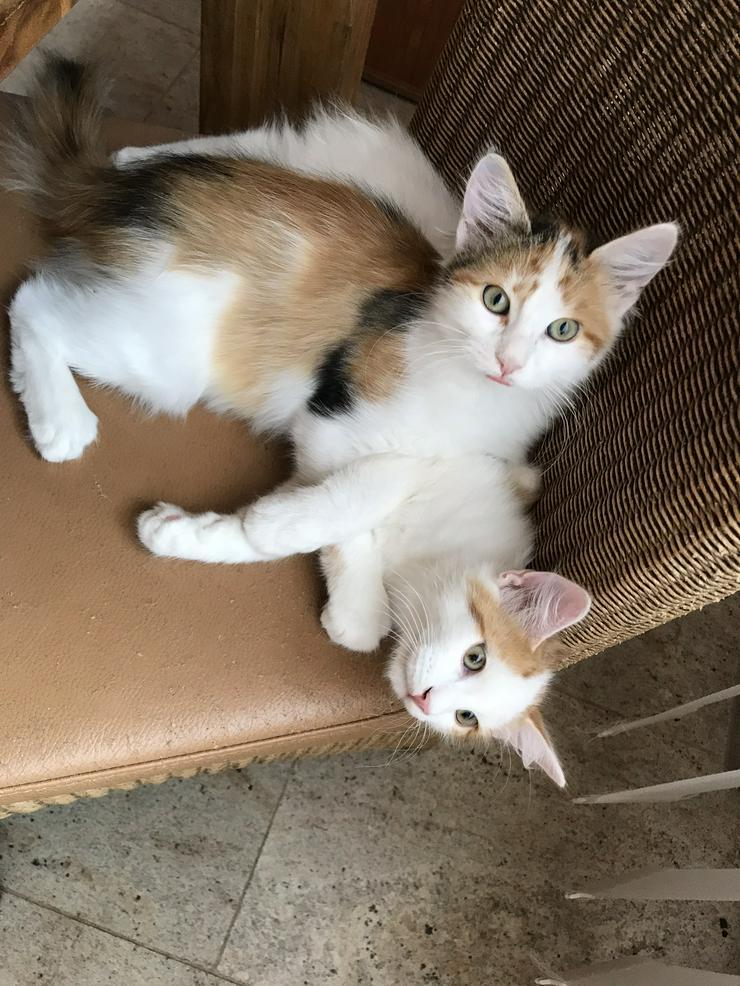 Bild 5: Sinirische Kitten und Neva Kitten