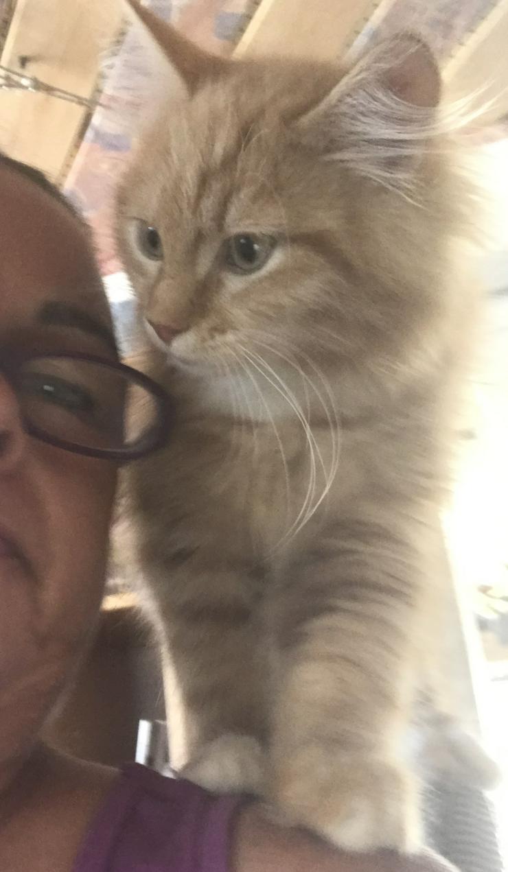 Bild 2: Sinirische Kitten und Neva Kitten