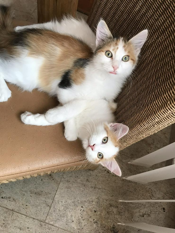 Bild 6: Sinirische Kitten und Neva Kitten
