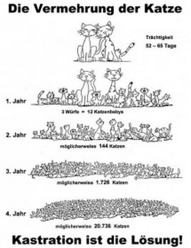 Hauskatzen-Kätzin Streuner suchen Kastrations-Paten