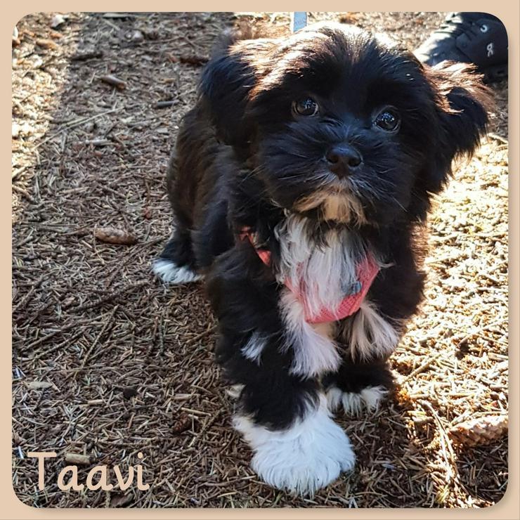 Havaneser Welpe Taavi vom Wangermeer sucht . . . - Rassehunde - Bild 1