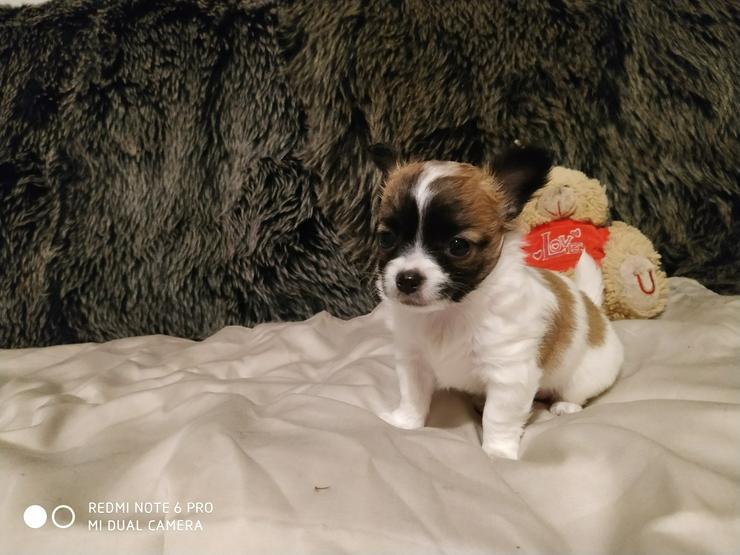 Bild 5: Reinrassige Chihuahua Welpen in liebevolle Hände abzugeben.