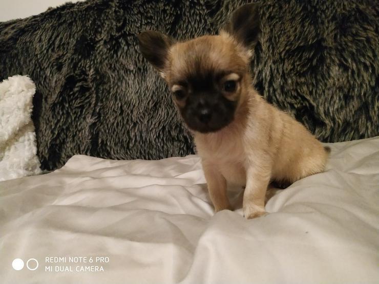 Bild 2: Reinrassige Chihuahua Welpen in liebevolle Hände abzugeben.