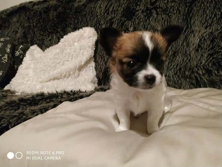 Bild 3: Reinrassige Chihuahua Welpen in liebevolle Hände abzugeben.