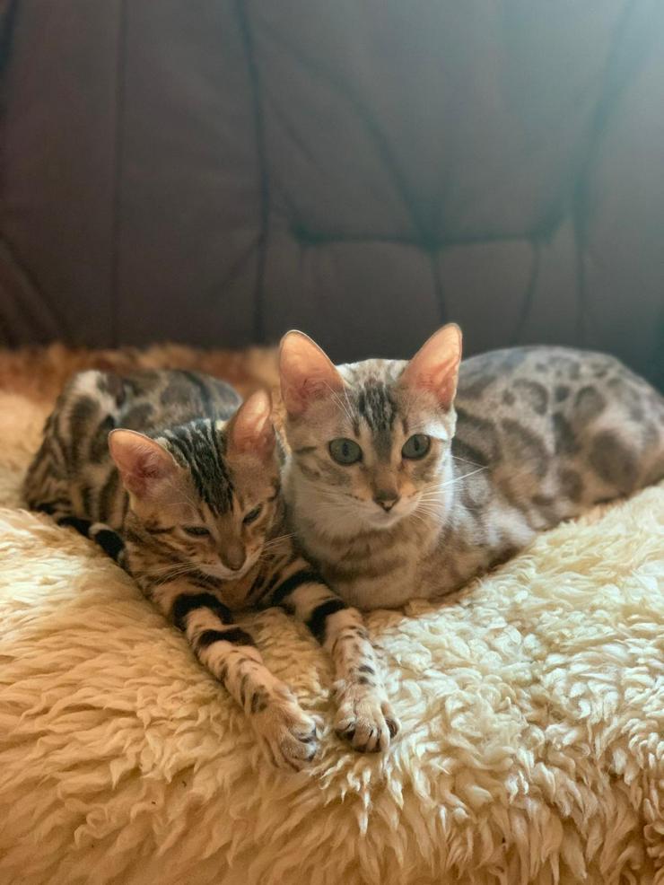 Bild 2: Reinrassige Bengal Kitten mit Stammbaum