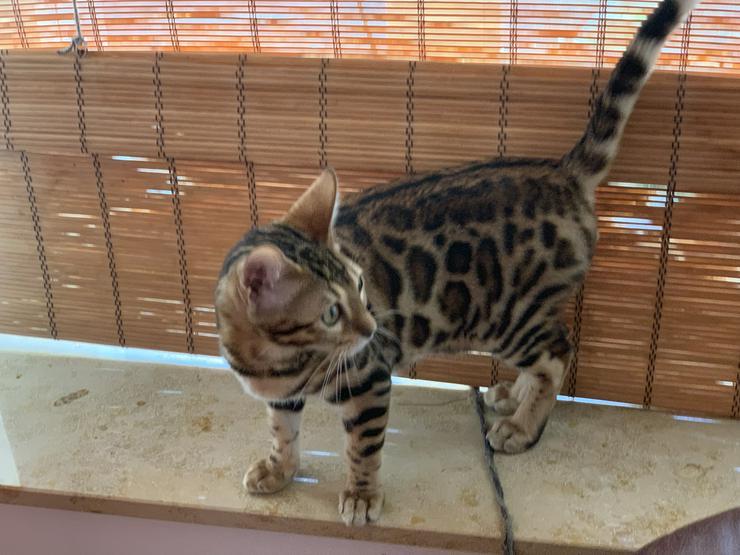 Bild 3: Reinrassige Bengal Kitten mit Stammbaum
