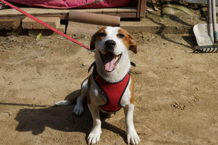 Bild 3: JADE, 2 Jahre, Beagle-Labrador-Mischling, Hündin, klein bis mittelgroß, 35 cm, hundeverträglich, kinderlieb, familiengeeignet, Seniorengeeignet, behindertengeeignet, Anfängergeeignet, Tierschutz