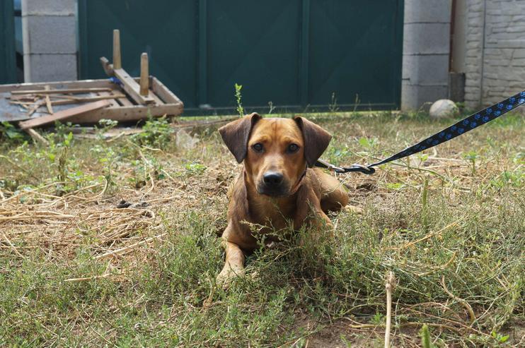 GINO, 1-2 Jahre, Rüde, Bracken-Mischling, kinderlieb, hundeverträglich, familiengeeignet, behindertengeeignet, Tierschutz, menschenbezogen - Mischlingshunde - Bild 1