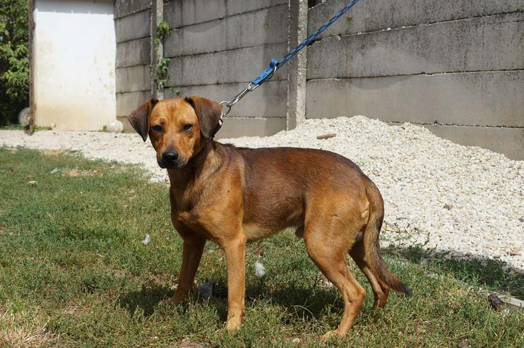 Bild 4: GINO, 1-2 Jahre, Rüde, Bracken-Mischling, kinderlieb, hundeverträglich, familiengeeignet, behindertengeeignet, Tierschutz, menschenbezogen