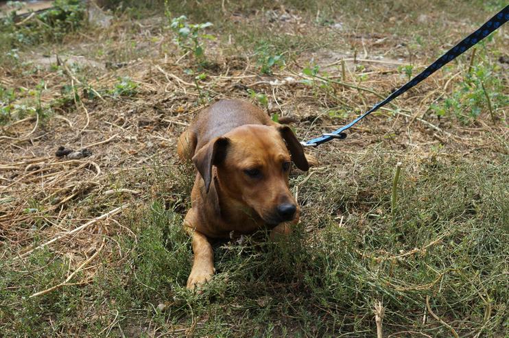 Bild 6: GINO, 1-2 Jahre, Rüde, Bracken-Mischling, kinderlieb, hundeverträglich, familiengeeignet, behindertengeeignet, Tierschutz, menschenbezogen