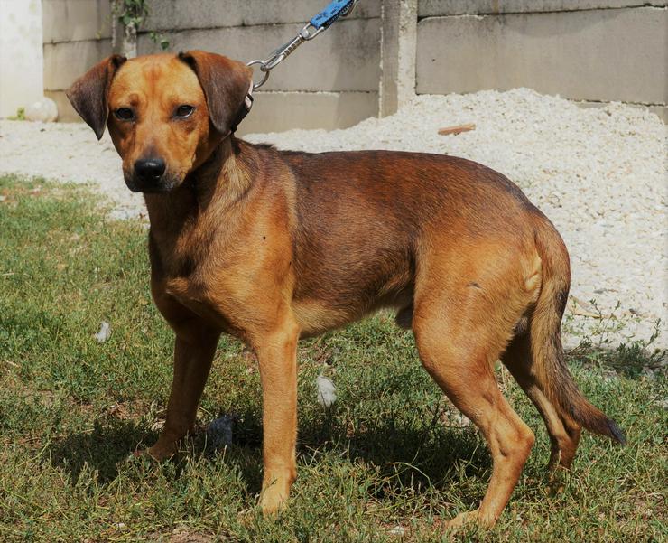 Bild 5: GINO, 1-2 Jahre, Rüde, Bracken-Mischling, kinderlieb, hundeverträglich, familiengeeignet, behindertengeeignet, Tierschutz, menschenbezogen