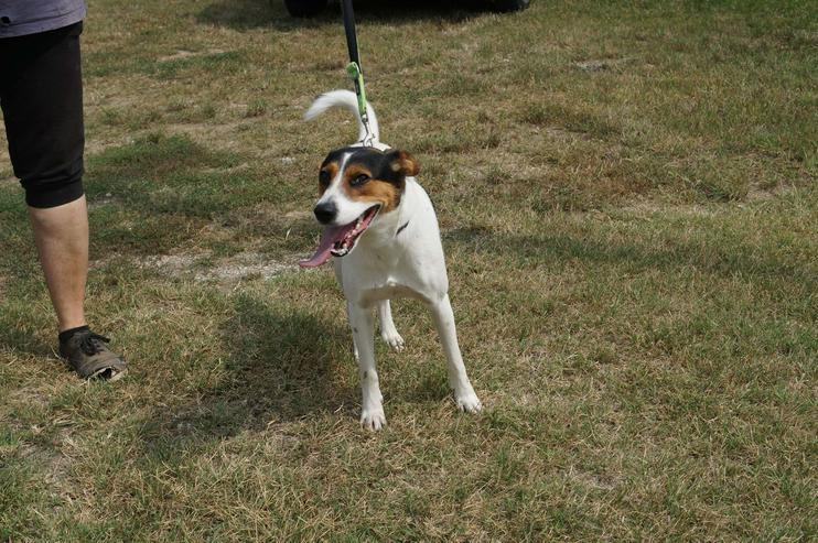 LEO, 1-2 Jahre, Beagle-Mischling, Rüde, kastriert, mittelgroß, 45 cm, Tierschutz,  kinderlieb, familiengeeignet, seniorengeeignet, Anfängergeeignet, behindertengeeignet, hundeverträglich, Tierschutz - Mischlingshunde - Bild 1