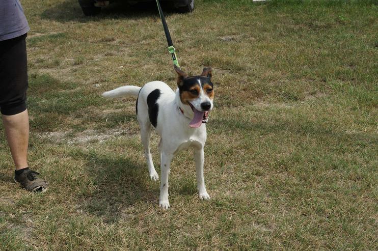 Bild 4: LEO, 1-2 Jahre, Beagle-Mischling, Rüde, kastriert, mittelgroß, 45 cm, Tierschutz,  kinderlieb, familiengeeignet, seniorengeeignet, Anfängergeeignet, behindertengeeignet, hundeverträglich, Tierschutz