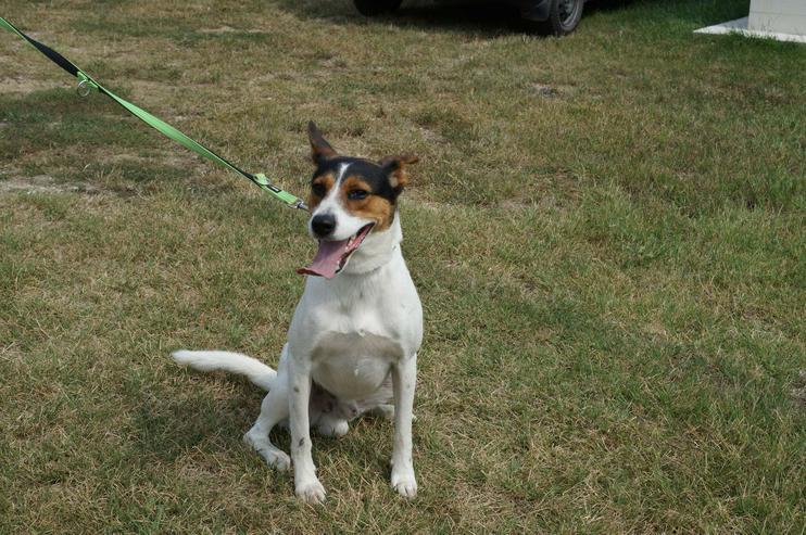 Bild 5: LEO, 1-2 Jahre, Beagle-Mischling, Rüde, kastriert, mittelgroß, 45 cm, Tierschutz,  kinderlieb, familiengeeignet, seniorengeeignet, Anfängergeeignet, behindertengeeignet, hundeverträglich, Tierschutz